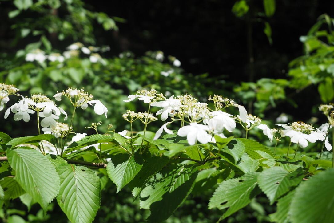 ツルアジサイっていうらしい。<br> まるで白い葉っぱのような花弁がとても綺麗!<br> シャッター切ると白飛びするくらい真っ白。