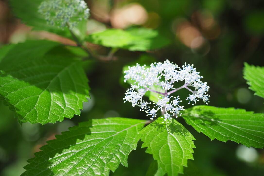 コアジサイが咲いていて、とても綺麗。<br> まるで「青色の線香花火」。