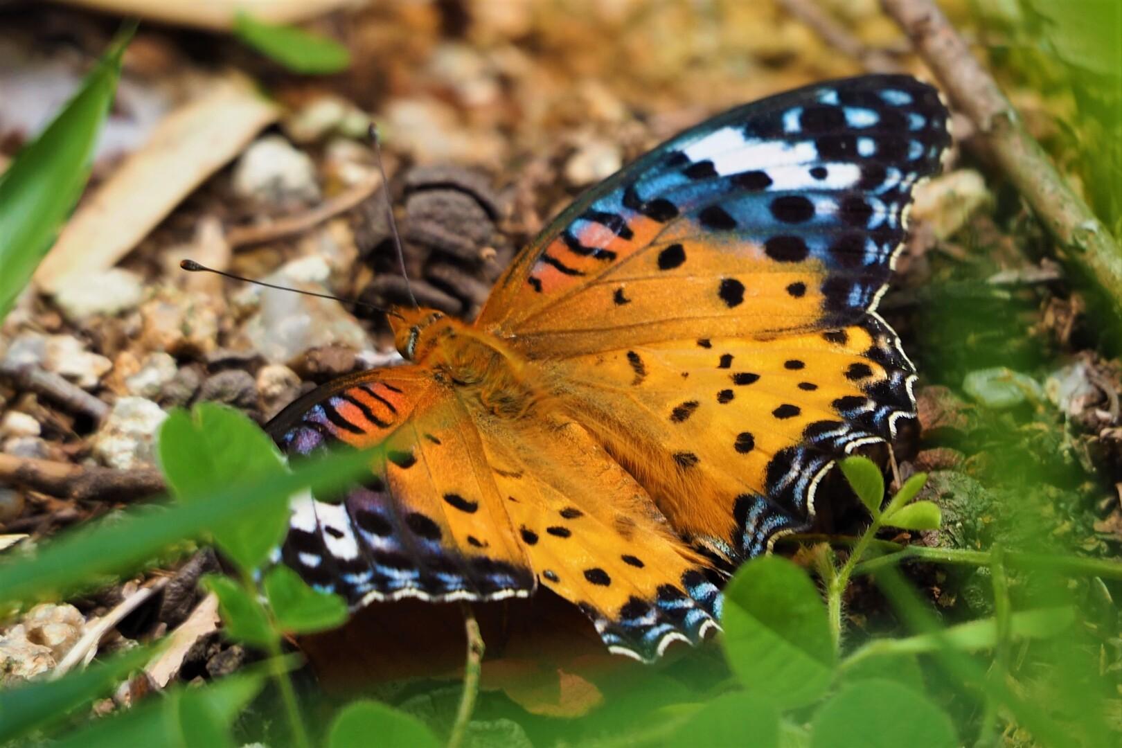 ヒョウモンチョウさん。<br> 蝶が嫌いなアナタ、よく見るときれいなもんでしょう?🥴