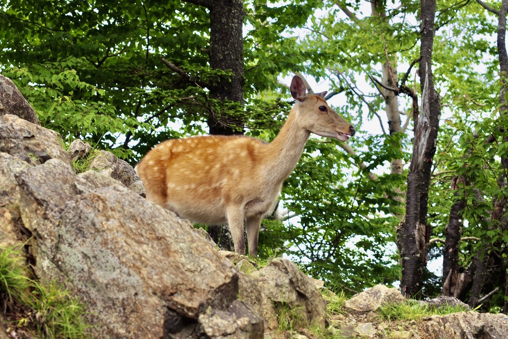 落ち着いて食べるためにちょっとションベンに・・・と外へ出るとまぁ!可愛い鹿さんが小屋の周りをウロウロしている。🦌<br> <br> なんじゃこのキュートな雌鹿は。<br> あわててカメラを取りに戻る。<br> <br> 部「外に鹿いますよ!!!」<br> も「えー!今作ってんだけど! ちょっと待ってー」<br> 部「残念です。先行ってます。」<br> も「🌚」