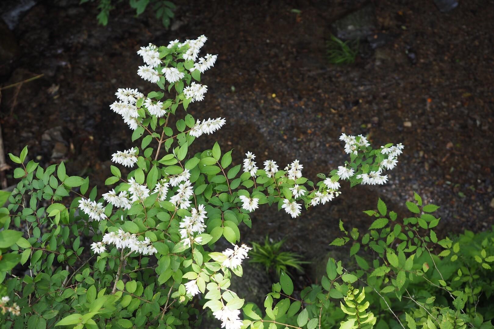 この可憐な花は一体なんだ?<br> <br> PS:ヒメウツギ てんてんさんありがとう!
