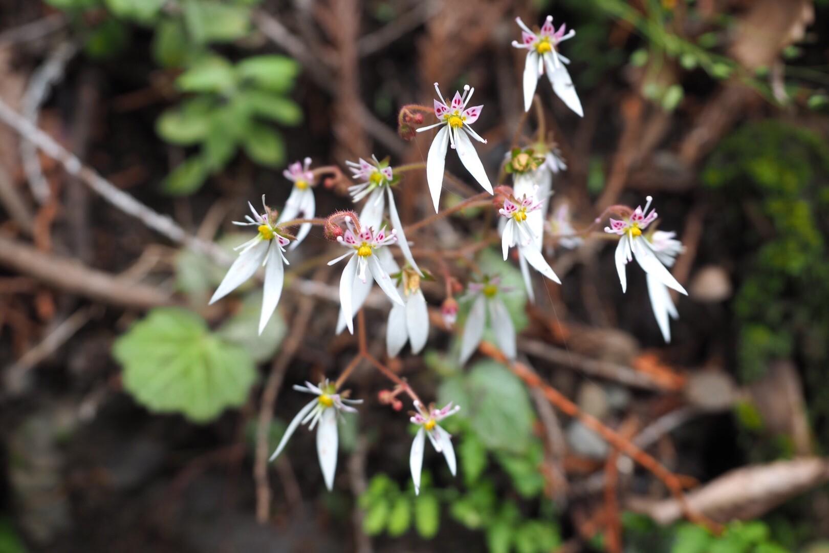 ユキノシタ!<br> やっぱり可愛い。<br> <br> この綺麗な花を紹介する。<br> 部「これ、なんだかわかります?」<br> <br> も「葉っぱじゃない?」<br> <br> 🙄