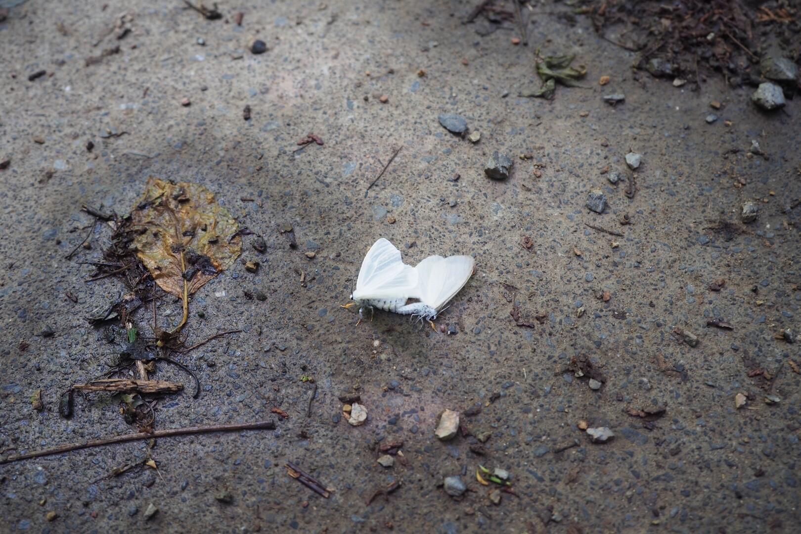 あ、大量に飛んでいたのはこいつらだわ!<br> <br> ◯◯シロエダシャクとかいうらしい。<br> 蝶みたいに綺麗。<br> <br> このカップル、どうやらつながったままオスが息絶えた模様。<br> メスが動かぬオスを引きずっていました。<br> 昆虫の世界はなんと儚いことよ、、、🥺